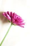 Scharfes rosa Gänseblümchen Lizenzfreie Stockfotografie