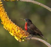 Scharlachrot Chested Sunbird Lizenzfreies Stockfoto