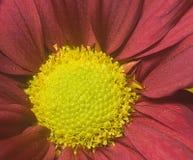 Scharlachrot Chrysantheme- Lizenzfreies Stockfoto