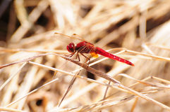 Scharlachrot der Libelle-(Crocothemis erythraea) Lizenzfreie Stockfotografie
