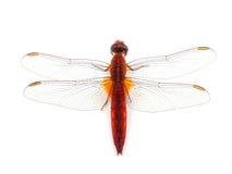 Scharlachrot der Libellen-(Crocothemis-erythraea) lokalisiert auf Weiß Stockfotos