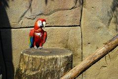 Scharlachrot des Macaw-, Ara Macao lizenzfreies stockbild