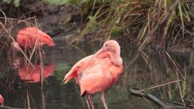 Scharlachrot IBIS- - Eudocimus-ruber, schöner roter Vogel stock video