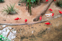 Scharlachrot IBIS ( Eudocimus ruber) am Vogel-Park Stockfotografie