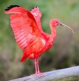 Scharlachrot IBIS-Vogel Stockfotos
