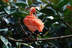 Scharlachrot IBIS-Vogel, derin den tropischen Anlagen sitzt Lizenzfreie Stockfotografie