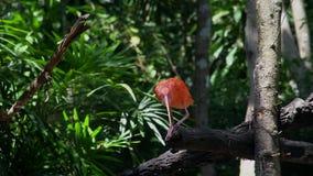 Scharlachrot IBIS-Vogel Eudocimus-ruber stock video footage