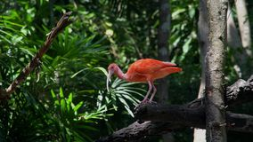 Scharlachrot IBIS-Vogel Eudocimus-ruber stock video