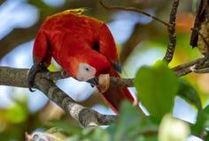 Scharlachrot Keilschwanzsittich-in Costa Rica lizenzfreies stockfoto
