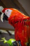 Scharlachrot Keilschwanzsittichvogel Stockfoto