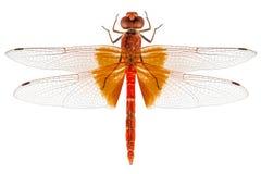 Scharlachrot Libellenspezies Crocothemis-erythraea Lizenzfreie Stockfotos