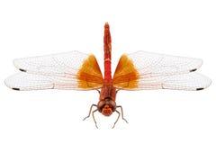 Scharlachrot Libellenspezies Crocothemis-erythraea Stockbilder