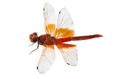 Scharlachrot Libellenspezies Crocothemis-erythraea Stockfotos