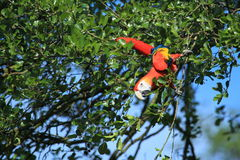 Scharlachrot Macaw Stockbild