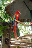 Scharlachrot Macaw-gehockt auf Glied stockfotografie