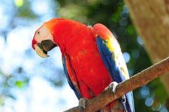 Scharlachrot Macaw in Honduras lizenzfreie stockfotografie