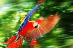 Scharlachrot Macaw in Honduras Stockbilder