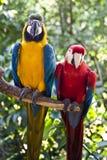 Scharlachrot-Macaw und Blau-und-gelb-Macaw Lizenzfreie Stockfotografie