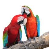 Scharlachrot Macawfedern Stockbilder