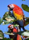 Scharlachrot Macaws- Lizenzfreie Stockfotos