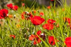 Scharlachrot Mohnblumen auf dem grünen Gras lizenzfreie stockbilder