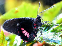 Scharlachrot Mormonen-Schmetterlings- Lizenzfreie Stockfotografie
