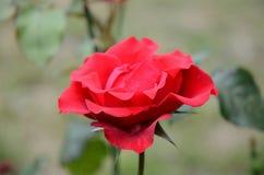 Scharlachrot Rose in der Gartennahaufnahme Stockfoto