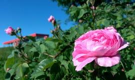 Scharlachrot Rosennahaufnahme an einem sonnigen Sommertag Lizenzfreie Stockfotografie