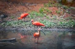 Scharlachrot roter Vogel IBIS auf Fluss lizenzfreie stockfotografie