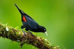 Scharlachrot-rumped Cacique, Cacicus uropygialis, Porträt des exotischen Vogels von Costa Rica, schwarzer roter Vogel ADN mit kla Stockfotografie