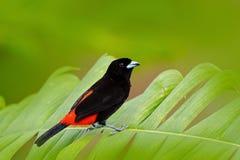 Scharlachrot-rumped Tanager, Ramphocelus-passerinii, exotische tropische rote und schwarze Liedvogelform Costa Rica, in der grüne Stockbilder