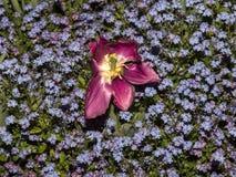 Scharlachrot Tulpe in der Phase des Endes der Blüte lizenzfreie stockfotografie
