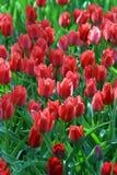 Scharlachrot Tulpen Stockbild