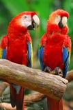 Scharlakansröd ara eller röd papegoja royaltyfri bild