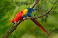 Scharlakansröd ara för röd papegoja, munkhättor Macao, i grön tropisk skog, Costa Rica, djurlivplats från vändkretsnaturen Djurli Royaltyfri Bild