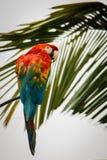 Scharlakansröd ara i rainforesten i Ecuador Arkivbild