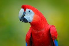 Scharlakansröd ara, munkhättor Macao, fågelsammanträde på filialen, Costa Rica Djurlivplats från vändkretsskognaturen Härlig pape Royaltyfria Foton