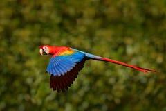 Scharlakansröd ara, munkhättor Macao, i tropisk skog, Costa Rica, djurlivplats från vändkretsnaturen Röd fågel i skogpapegojaflyg Royaltyfria Bilder