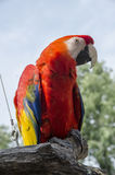 Scharlakansröd arafågel Royaltyfri Bild