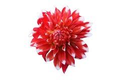 Scharlakansröd blomma för dahlia med vitspetsar som isoleras på vit Arkivbilder