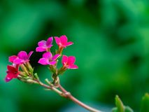 Scharlakansröd blomma på en grön bakgrund i en solig dag Arkivbilder