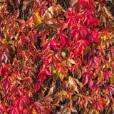 Scharlakansröd höstlig bakgrund med lösa druvasidor Lilor rubinnedgångsidor av lösa druvor på ett staket royaltyfria bilder