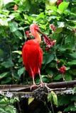 Scharlakansröd ibis arkivbild