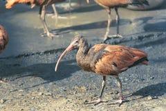 Scharlakansröd ibis Royaltyfri Fotografi