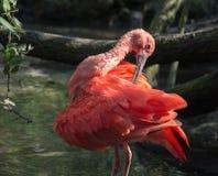 Scharlakansröd ibis Fotografering för Bildbyråer