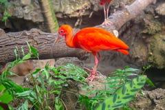 Scharlakansröd ibis i zoo royaltyfri bild