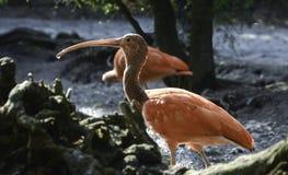 Scharlakansröd ibis med en droppe av vatten Arkivbild