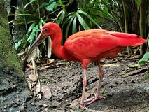 Scharlakansröd ibis på den Galveston rainforesten Royaltyfria Bilder