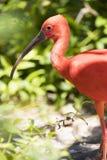 Scharlakansröd ibis på den Grand Cayman ön i ståendesikt fotografering för bildbyråer