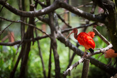 Scharlakansröd ibis på en trädfilial Fotografering för Bildbyråer